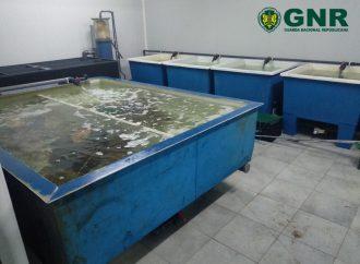 GNR encerra estabelecimento de aquicultura ilegal no concelho da Lourinhã